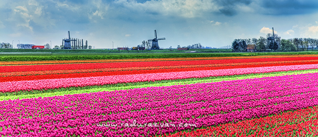 Dutch landscape with the focus on well colored tulips and with specific windmills beyond
